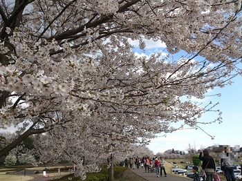 20140405-Cherry-blossom_ Viewing.jpg
